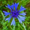800px-Centaurea_cyanus_0003