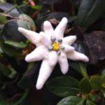 Martisor floare de colt, martisoare